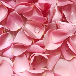 pétales de roses fraîches